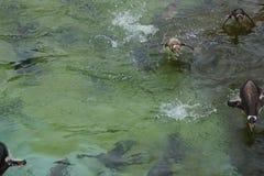 Gentoo Penguin - Pygoscelis Παπούα Στοκ Εικόνες