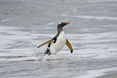 Gentoo penguin (Pygoscelis papua) Royalty Free Stock Photo