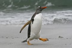 Gentoo penguin (Pygoscelis papua) Stock Photography