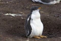 Gentoo penguin (Pygoscelis papua) Stock Image
