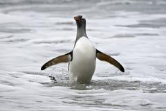 Gentoo penguin (Pygoscelis papua) Royalty Free Stock Image