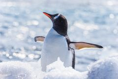 Gentoo Penguin enoying the snow royalty free stock image