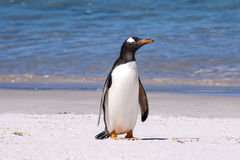 Gentoo penguin (Pygoscelis papua) Royalty Free Stock Images
