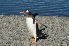 Gentoo penguin (Pygoscelis papua) royalty free stock photography
