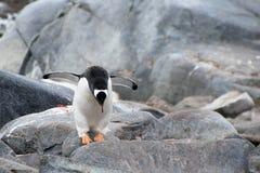 Gentoo penguin, Pygoscelis Papua, Antarctic Peninsula Stock Photos