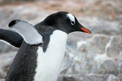 Gentoo penguin, Pygoscelis Papua, Antarctic Peninsula Royalty Free Stock Photos