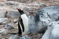 Gentoo penguin, Pygoscelis Papua, Antarctic Peninsula Stock Image