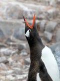 Gentoo penguin, Pygoscelis Papua, Antarctic Peninsula Royalty Free Stock Image