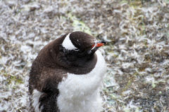 Gentoo penguin, Pygoscelis Papua, Antarctic Peninsula Stock Images