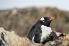 Gentoo penguin, Pygoscelis Papua, Antarctic Peninsula Stock Photography