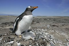 Gentoo penguin, Pygoscelis papua Stock Photo
