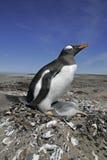 Gentoo penguin, Pygoscelis papua Stock Image