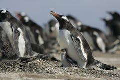 Gentoo penguin, Pygoscelis papua Stock Images