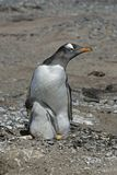Gentoo penguin, Pygoscelis papua Royalty Free Stock Photos