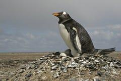 Gentoo penguin, Pygoscelis papua Royalty Free Stock Image
