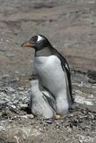 Gentoo penguin, Pygoscelis papua Stock Photography