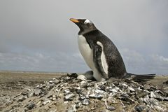 Gentoo penguin, Pygoscelis papua Stock Photos