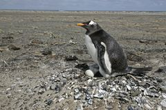 Gentoo penguin, Pygoscelis papua Royalty Free Stock Photo