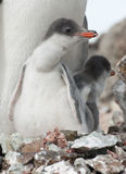 Gentoo penguin (Pygoscelis papua) chick Royalty Free Stock Photo