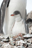 Gentoo penguin (Pygoscelis papua) chick. Stock Photography