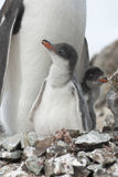 Gentoo penguin (Pygoscelis papua) chick feather. Gentoo penguin (Pygoscelis papua) chick feather the nest Stock Photo