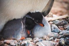 Gentoo Penguin Pygoscelis papua chicks royalty free stock photography