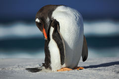 Gentoo penguin, Pygoscelis papua , cleaning plumage on the white beach with dark blue sea wave, Falkland Islands Stock Photo