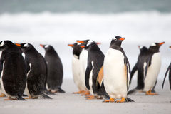 Gentoo Penguin (Pygoscelis papua) colony on the beach. Falkland Royalty Free Stock Photos