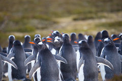 Gentoo Penguin (Pygoscelis papua) colony in the sand dunes. Royalty Free Stock Photography