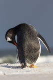 Gentoo Penguin (Pygoscelis papua) colony in the sand. Falkland I Royalty Free Stock Photo