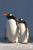 Gentoo Penguin (Pygoscelis papua) couple. Falkland Islands Stock Images