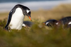 Gentoo Penguin (Pygoscelis papua) in his colony in the grass. Royalty Free Stock Photos