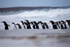 Gentoo Penguin (Pygoscelis papua) marching out from the surf. Stock Photography