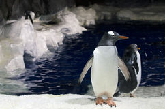 Gentoo Penguin - Pygoscelis papua Royalty Free Stock Photography