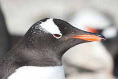 Gentoo penguin (Pygoscelis papua)  portrait. Royalty Free Stock Photography