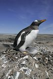 Gentoo penguin, Pygoscelis papua Royalty Free Stock Photography