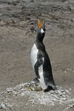 Gentoo penguin, Pygoscelis papua Royalty Free Stock Images