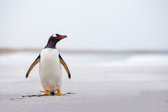 Gentoo Penguin (Pygoscelis papua) standing alone on a white sand Royalty Free Stock Photo