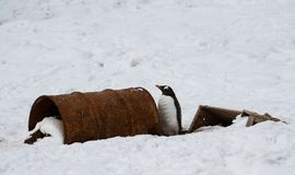 A gentoo penguin Pygoscelis papua standing next to rusty old drums on a snowy shore, Antarctica Stock Photography
