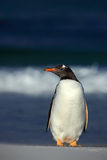 Gentoo penguin, Pygoscelis papua , standing on the white beach with dark blue sea wave, Falkland Islands Royalty Free Stock Photography