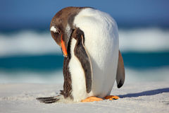 Gentoo penguin, Pygoscelis papua , standing on the white beach with dark blue sea wave, Falkland Islands. Royalty Free Stock Photography