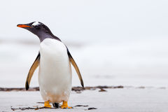 Gentoo Penguin (Pygoscelis papua) standing on a white sand beach Royalty Free Stock Images