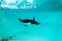 Gentoo Penguin (Pygoscelis papua), swimming underwater. In large aquatic tank with blue background and sunlight casting shadows. Reflections of clouds on the Royalty Free Stock Photography