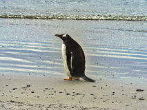 Gentoo penguin, Pygoscelis papua, Volunteer point, Falkland Islands - Malvinas. One Gentoo penguin, Pygoscelis papua, Volunteer point, Falkland Islands Stock Image