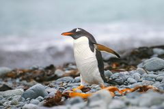 Gentoo penguin, Pygoscelis papua. Gentoo penguin (Pygoscelis papua) walking on the beach on Macquarie Island, Australia stock photos