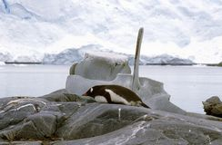 Gentoo penguin (Pygoscelis papua) and whale bone in Paradise Harbor, Antarctica Stock Image