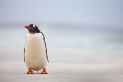 Gentoo Penguin (Pygoscelis papua) on a white sand beach. Falklan Stock Photos