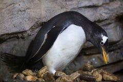 Gentoo penguin Pygoscelis papua. Stock Photo