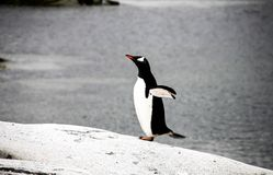 Gentoo penguin or pygoscellis papua Royalty Free Stock Photos