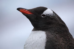 Gentoo penguin in rain with water beads on plumage Stock Photo